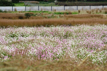 Field of Cosmos in bloom with pink and white flowers with a security wall in the background