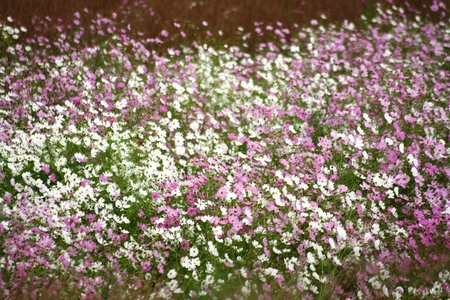 Cosmos flowers in bloom during Autumn