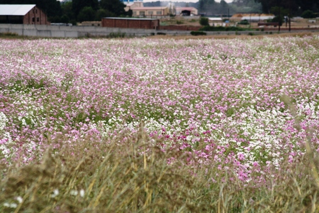 Field of Cosmos flowers in bloom during Autumn season
