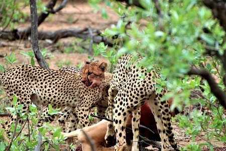 Cheetah with her cubs at an Impala kill, keeping an eye out for other predators