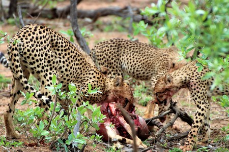 Cheetah with her cubs eating an Impala they killed