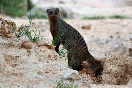 Curious banded mongoose in a nature reserve