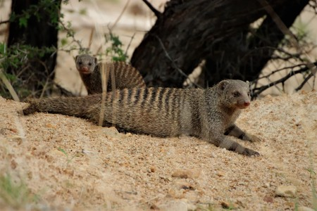 Mother and young banded mongoose resting in the sand Imagens