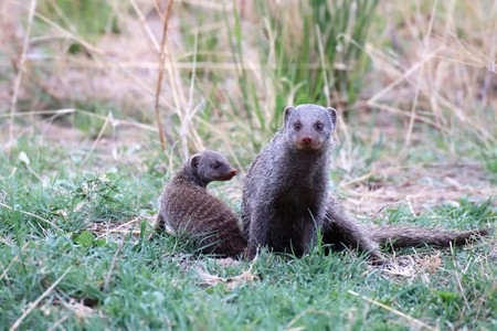 Banded mongoose mother and baby outdoors in nature Stockfoto
