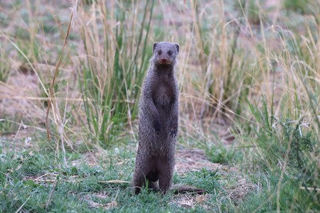 Banded mongoose standing upright on hind legs, curiously looking