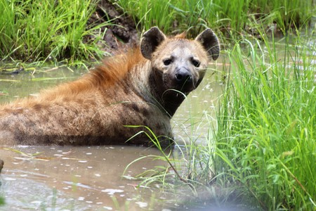 Hyena cooling down in a pond on a hot summers day