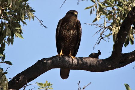 Buzzard in the shade of a tree hiding from the heat of the day Imagens