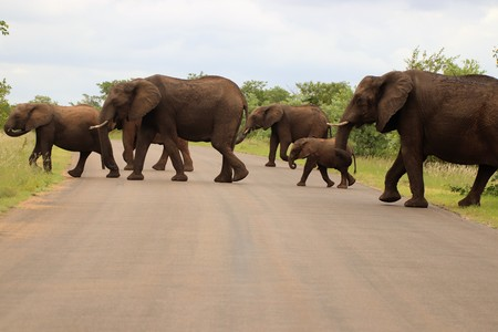 Family of Elephants crossing a road
