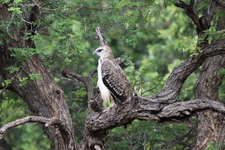 Juvenile Marshall eagle sitting a in tree in the Kruger National Park