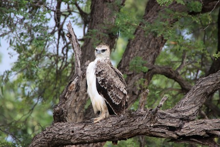 Juvenile Marshall Eagle sitting in a tree