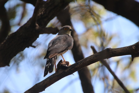 African Goshawk in a tree with a bird in its claws for lunch Imagens
