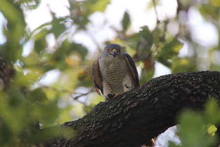 African Goshawk in the shade of a tree with its catch