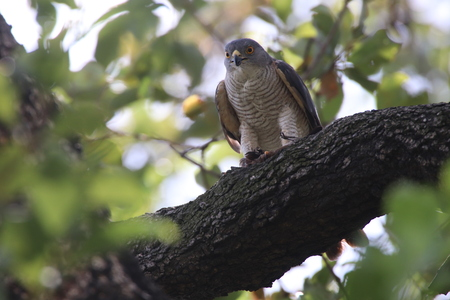 Falcon in a tree with its catch in its claws Imagens