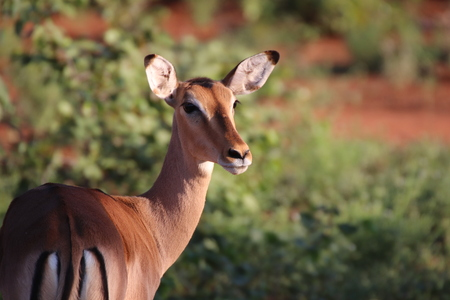 Impala ewe cautions for any danger