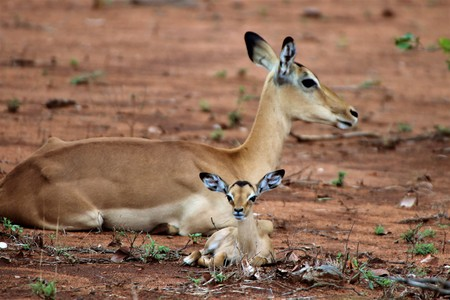 Impala ewe with her lamb resting in the dry season