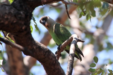 Brown-headed parrot in a tree, looking down