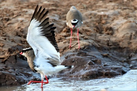 Crowned Lapwing pair taking a bath at a water-pond