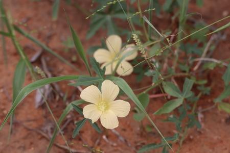 Beautiful yellow wild flower in the bushveld Imagens
