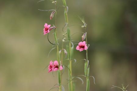 Wild flower in the Kruger National Park