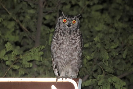 Portrait of a Spotted Eagle Owl on a sign board with trees in the background