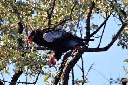 Bateleur Eagle sitting with a twig in its beak in a tree