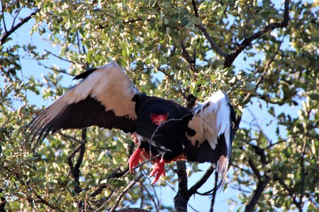 Bateleur Eagle flying with a twig in its beak Imagens