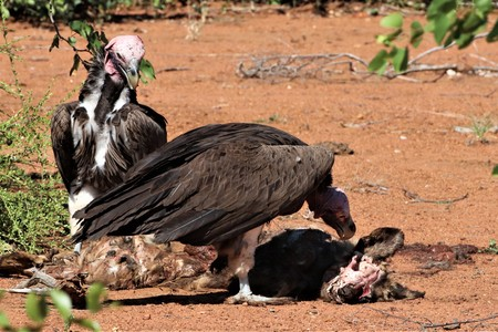 Lappet-faced vultures eating from a carcass