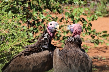 Close-up of two Lappet-faced vultures at a carcass