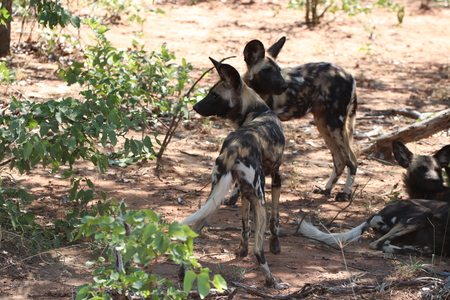 Pack of Wild dogs in the Kruger National Park