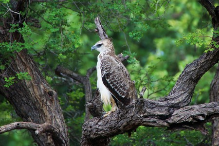 Juvenile Marshall Eagle in a dead tree with green trees as background