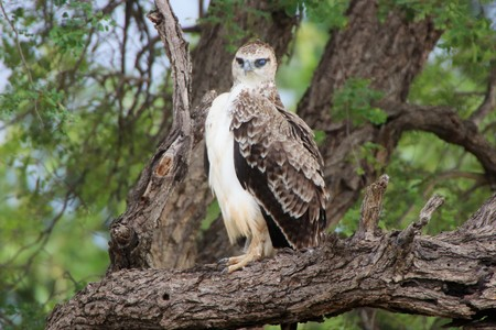 Juvenile Marshall Eagle sitting in a tree over looking the bush Imagens