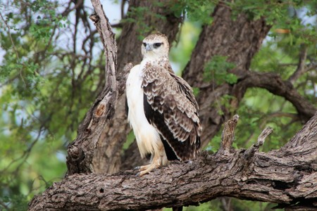 Beautiful Juvenile Marshall Eagle on a dry tree branch Imagens