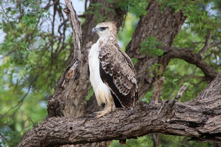 Beautiful Juvenile Marshall Eagle sitting on a dry tree branch