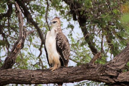 Juvenile Marshall Eagle sitting on a dry tree branch