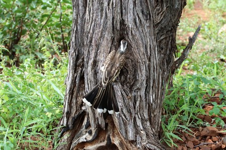 Grey Hornbill feeding chicks through a hole in a tree.