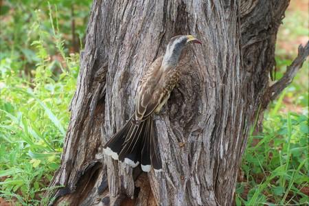 Grey Hornbill feeding chicks through a hole in a tree