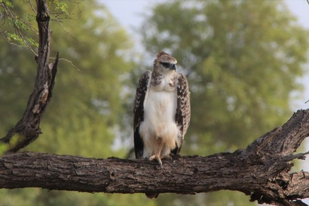 Juvenile Marshall Eagle sitting on a dry branch of a tree with green trees in the back-ground Imagens