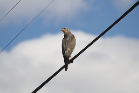 Falcon sitting on telephone wire with a cloudy and blue sky background looking back
