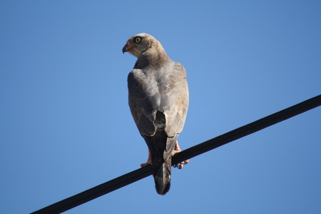 Hawk sitting on a wire with a clear blue sky background Imagens
