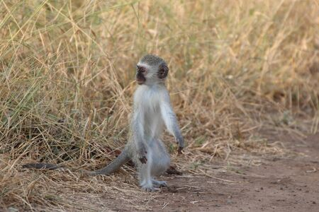 Young  Vervet monkey waiting for the rest of the family at the edge of the grass Imagens