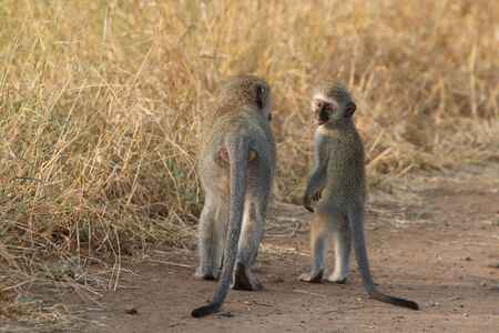 Vervet monkey Mother and child walking together, youngster looking back and waiting