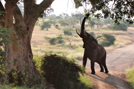 Huge African Elephant stretching and reaching up with his trunk for the juicy high green leaves of a tree