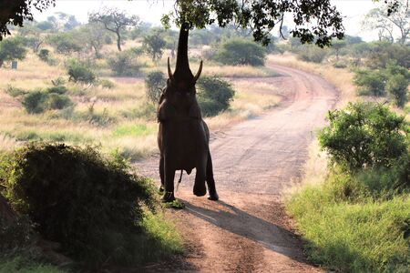 Huge lone African Elephant stretching to get the green leaves of a big tree Imagens