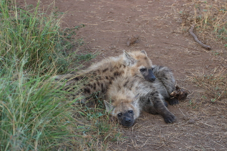 Two young Hyena lying outside the den near one another looking for some hear after a cool night