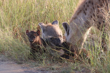 Hyena with pups caring and protection their pups in the veld Imagens
