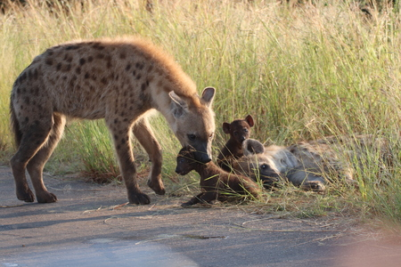 Adult Hyena with grip on the neck of baby to guide it