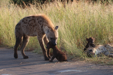 Hyena guiding her pup back to the veld for protection and safety Imagens