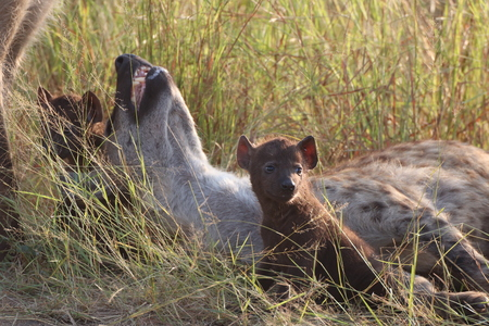 Hyena pup near its Mother for protection and care