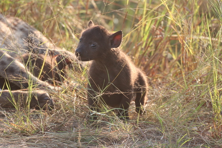 Curious beautiful Hyena pup with its Mother in the veld Imagens