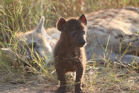 Curious baby Hyena stays near Mother for safety  while exploring its surroundings
